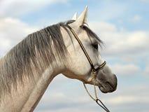 Amazing gray arab horse Stock Photo