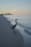 Amazing Great Blue Heron at the Water's Edge at Dawn royalty free stock photos
