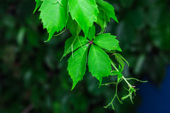 Amazing green leaves Royalty Free Stock Photos