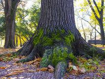 Amazing green moss on an old tree Royalty Free Stock Photography