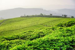 Amazing green tea leaves at tea plantation in evening. Amazing young upper fresh bright green tea leaves at tea plantation in evening. Beautiful rows of tea stock photos