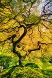 Amazing Green Tree. Amazing Green Japanese Maple Tree, Nature Garden Stock Photos