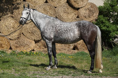 Amazing grey horse with bridle Royalty Free Stock Images