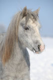 Amazing grey pony in winter Stock Image