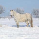 Amazing grey pony in winter Stock Photography
