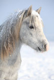 Amazing grey pony in winter Royalty Free Stock Photo