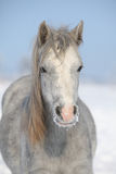Amazing grey pony in winter Royalty Free Stock Photos