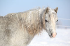 Amazing grey pony in winter Royalty Free Stock Image