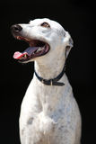 Amazing Greyhound isolated on black background Stock Photos