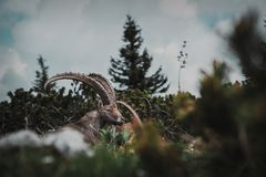 Beautiful alpine ibex is sitting and looking at the travellers combing by in the austrian mountains stock photos