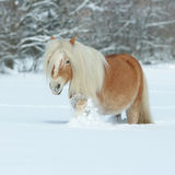 Amazing haflinger running in the snow Royalty Free Stock Photo