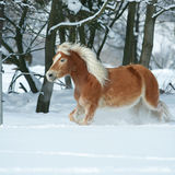 Amazing haflinger running in the snow Royalty Free Stock Photos