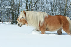 Amazing haflinger running in the snow Royalty Free Stock Image