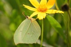 Amazing  Himalayan  brimstone  gonepteryx nepalensis butterfly . royalty free stock image