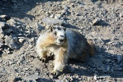 Hoary Marmot on top of Gondala in Banff Stock Photography