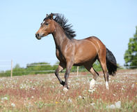 Amazing horse running on spring pasturage Royalty Free Stock Photos