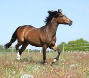 Amazing horse running on spring pasturage Stock Photography