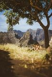 Amazing huge barren mountain range appearing on the horizon. Glowing sun the only mango tree providing shade . Santo. Antao Island, Cape Verde stock image