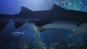 Amazing, Huge Shark surrounded by lots of different fishes. In oceanarium stock footage
