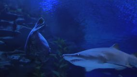 Amazing, Huge Shark surrounded by lots of different fishes. In oceanarium stock video footage