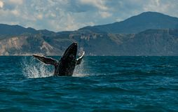 An Amazing Humpback Whale Jumping Out of the Water stock photography