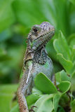 Amazing Iguana in the Top of a Bush Stock Images