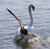 Amazing image with the Canada goose attacking the swan on the lake Stock Photos
