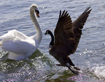 Amazing image of the epic fight between a Canada goose and a swan Royalty Free Stock Image