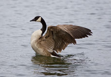 Amazing image with a noble Canada goose with the wings. Beautiful image with a noble Canada goose with the wings Royalty Free Stock Photography
