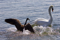 Amazing image of the small Canada goose attacking the swan on the lake Stock Image
