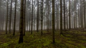 Amazing image of tall pine trees in the forest with moss on the ground in the forest royalty free stock images