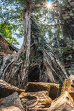 Amazing incredible giant ancient trees of Ta Prohm, Angkor Wat, Siem Reap, Cambodia. The temple is also known as Tomb Stock Photography