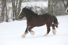 Amazing irish cob running in the snow Royalty Free Stock Images