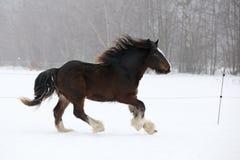 Amazing irish cob running in the snow Stock Photos