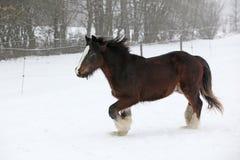 Amazing irish cob running in the snow Royalty Free Stock Photography