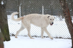 Amazing Irish Wolfhound running in winter Stock Image