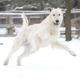 Amazing Irish Wolfhound running in winter Stock Photo