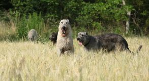 Irish wolfhounds running in nature Royalty Free Stock Images