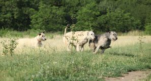 Irish wolfhounds running in nature Stock Photography