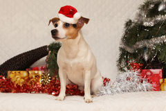 Amazing Jack russell with santa hat in christmas Stock Image