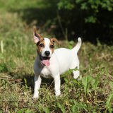 Amazing jack russell terrier puppy in the garden Stock Photography