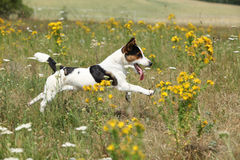 Amazing Jack Russell terrier running and jumping Royalty Free Stock Image