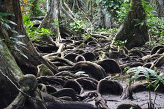 Beautiful tree´s roots on carenero island Bocas del Toro panama. The amazing jungle forest of carenero island in Bocas del Toro Archipelago with its stock image