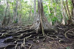 Beautiful tree´s roots on carenero island Bocas del Toro panama. The amazing jungle forest of carenero island in Bocas del Toro Archipelago with its stock photos