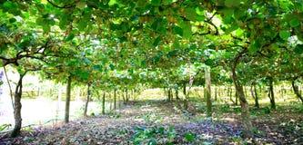 Amazing kiwi orchard in New Zealand. Royalty Free Stock Photos