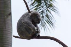 Amazing koala is sleeping on the tree Stock Images