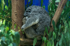 Amazing koala is sleeping on the tree Royalty Free Stock Image
