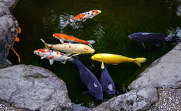 Amazing Koi fish pond in Kanazawa, Japan. Koi are the fish that are most commonly associated with garden ponds in Japan royalty free stock photo