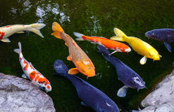 Amazing Koi fish pond in Kanazawa, Japan Royalty Free Stock Image