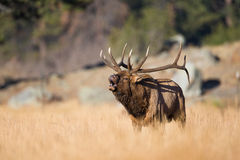 Amazing landscape photograph go bull elk in rut Royalty Free Stock Photos